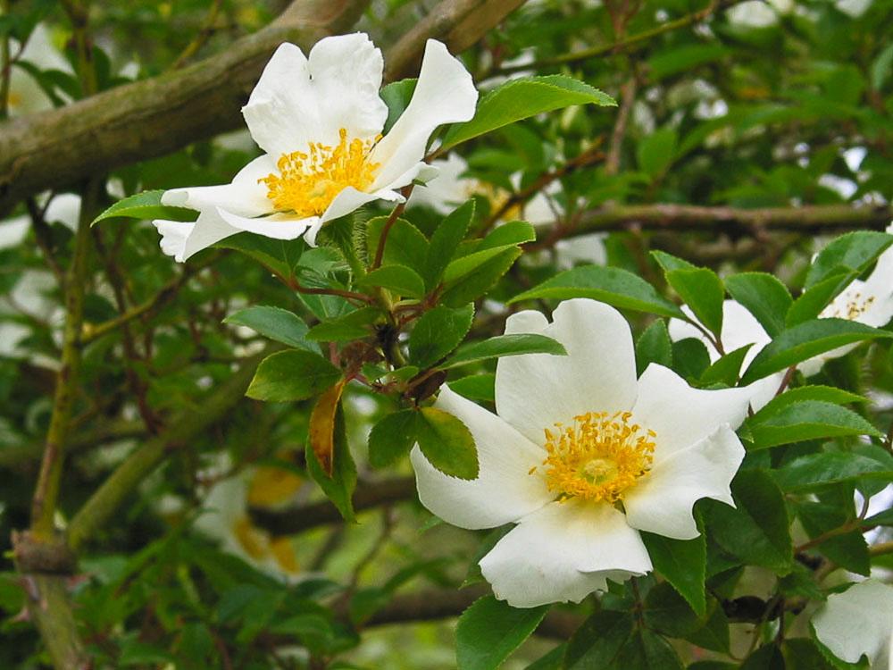 Cupola house gardens in bloom edenton north carolina for Cherokee rose